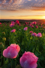 Preview iPhone wallpaper Pink poppies flowers, sunrise, dawn, Germany