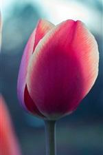 Rosa, tulipa, flores, close-up, obscuro, fundo