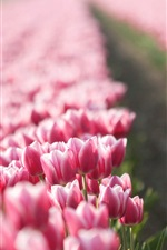 Preview iPhone wallpaper Pink tulips field, blurry background