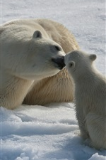 Polar bears love kiss, snow
