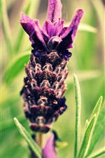 Preview iPhone wallpaper Purple lavender flowers close-up, leaves, bokeh