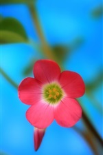 Preview iPhone wallpaper Red flower close-up, blue background