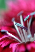 Preview iPhone wallpaper Red flower macro photography, pistil
