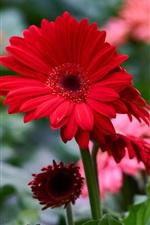Preview iPhone wallpaper Red gerbera flowers