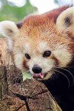 Preview iPhone wallpaper Red panda in tree, bokeh