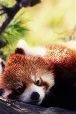 Red panda want to sleep