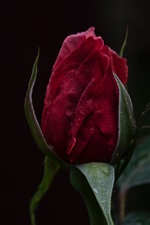 Preview iPhone wallpaper Red rose bud, water drops, dark background