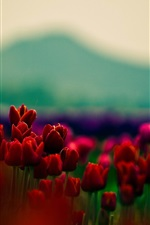 Preview iPhone wallpaper Red tulips, flowers, blurry