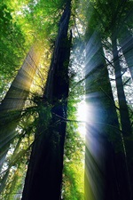 Preview iPhone wallpaper Redwood forest, trees, sunlight