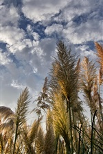 Preview iPhone wallpaper Reeds, clouds, sky, sunshine