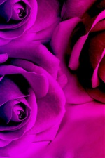 Rose flowers, red and purple