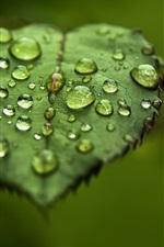 Rose leaves close-up, dew