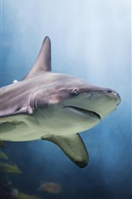 Preview iPhone wallpaper Shark and fish underwater