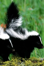 Preview iPhone wallpaper Skunks couple, black and white fur