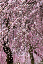 Preview iPhone wallpaper Spring, beautiful sakura, trees, twigs