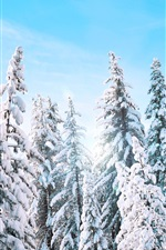 Spruce, trees, winter, thick snow