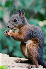 Squirrel eating food, rodent photography