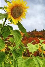 Preview iPhone wallpaper Sunflower, mountain, trees, grass, autumn