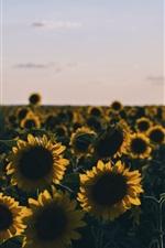 Sunflowers field at evening