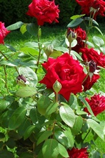 Sunny day, grass, red rose