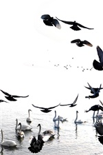 Preview iPhone wallpaper Swans and birds, lake