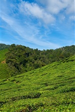 Preview iPhone wallpaper Tea plantations, slope, sky, Malaysia