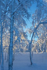 Thick snow, trees, forest, winter, sunlight