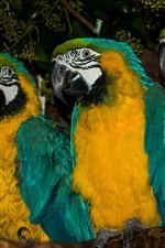 Preview iPhone wallpaper Three parrots, Blue-and-yellow macaw