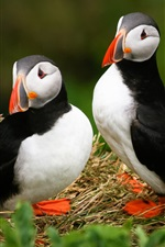 Preview iPhone wallpaper Three puffins