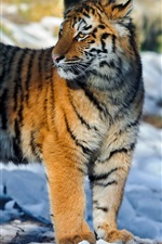 Preview iPhone wallpaper Tiger look back, snow