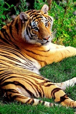 Tiger lying in grass, look back