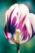 Preview iPhone wallpaper Tulip flower close-up, white purple petals