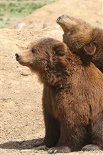 Preview iPhone wallpaper Two brown bears playful