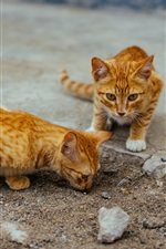 Preview iPhone wallpaper Two cute striped kittens