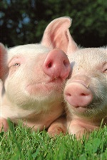 Preview iPhone wallpaper Two pigs in the grass