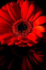 Preview iPhone wallpaper Two red daisy flowers