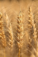 Preview iPhone wallpaper Wheat close-up