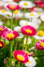White and pink daisies, flowers photography