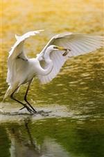White bird, egret, fishing, lake, water