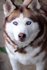 Preview iPhone wallpaper White brown husky dog look at you