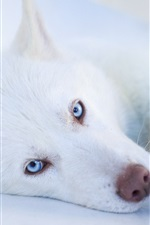 Preview iPhone wallpaper White dog, blue eyes, sleep