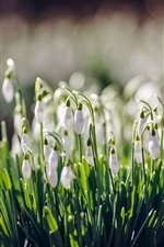 White flowers, snowdrops, spring