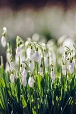 미리보기 iPhone 배경 화면 흰색 꽃, 스노 드롭, 봄