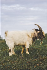 Preview iPhone wallpaper White goat, horns, grass