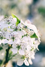 Flor branca de sakura, mola