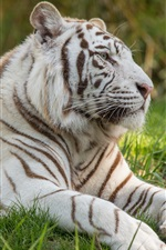 Preview iPhone wallpaper White tiger, grass, big cat