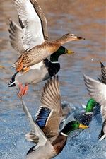 Preview iPhone wallpaper Wild ducks flying, wings, water splash