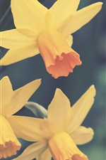 Preview iPhone wallpaper Yellow daffodils flowers close-up, blurry background