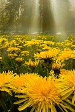 Preview iPhone wallpaper Yellow dandelions flowers, forest, glare
