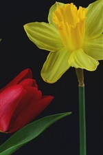 Yellow narcissus and red tulips, black background